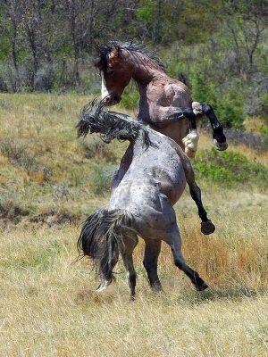 comportement-et-vie-sociale-du-cheval-descriptif